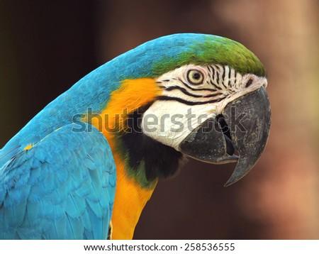 Blue and Gold Macaw in the forrest          - stock photo