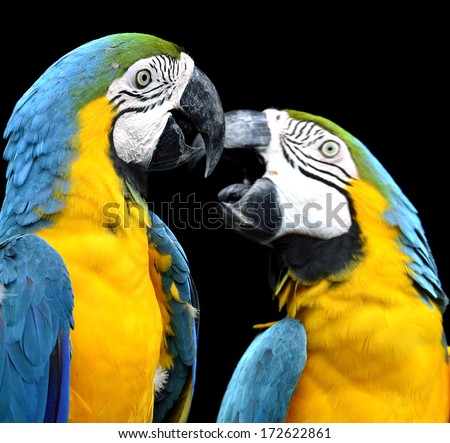 Blue and Gold macaw parrot birds kissing each other in sweet motion