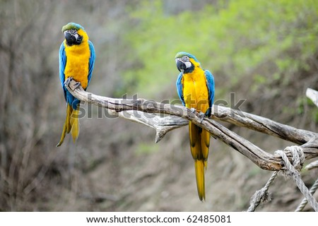 Blue and gold macaw parrots on a branch - stock photo