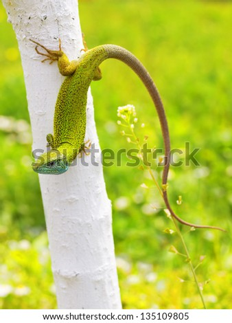 Blue and green lizard (lacerta viridis) relaxes on tree in natural environment with beauty colorful background blur . - stock photo