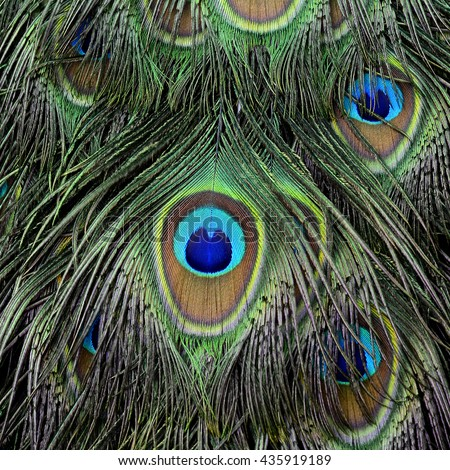 blue and green spot surounded by golden texture of Indian Peacock feathers, the most beautiful background - stock photo