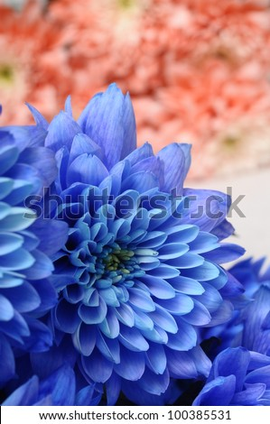 Blue and pink flowers aster for background or texture