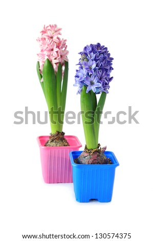 Blue and pink hyacinths isolated on white - stock photo