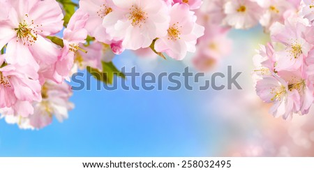 Blue and pink wide background with cherry blossoms framing the bright vibrant sky, shallow focus - stock photo