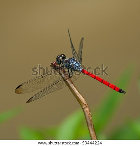 blue and red dragonfly on a branch - stock photo