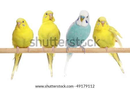 Blue and three yellow budgerigars on a branch. Isolated on a white background - stock photo