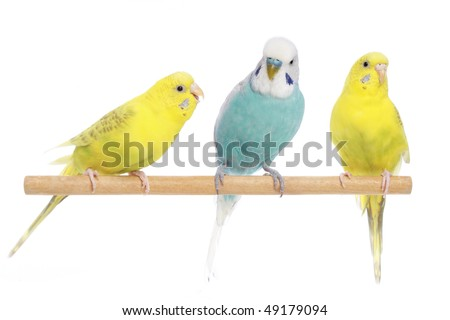 Blue and two yellow budgerigars on a branch. Isolated on a white background - stock photo