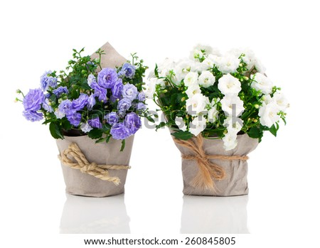 blue and white Campanula terry flowers in paper packaging, isolated on white background - stock photo