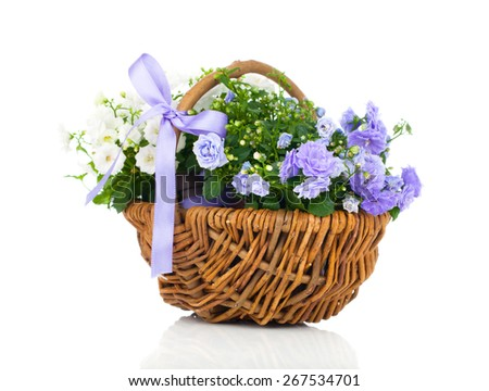 blue and white Campanula terry flowers in the wicker basket, isolated on white background - stock photo