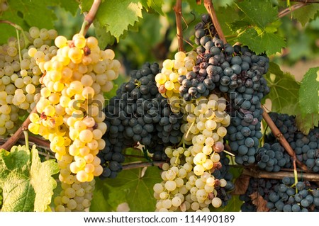 Blue and white grapes on a vine - stock photo