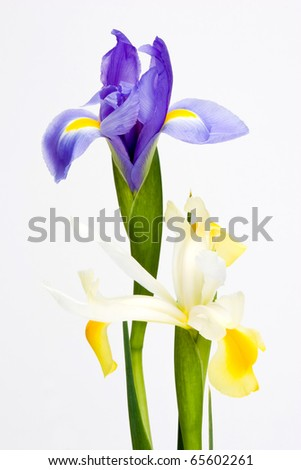 Blue and white iris flowers isolated on white background. - stock photo