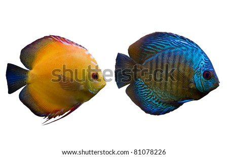 Blue and yellow fishes isolated - stock photo