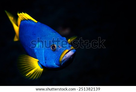 Blue and yellow grouper. - stock photo