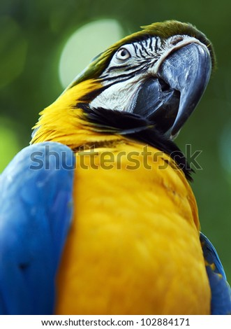 Blue-and-yellow Macao parrot in a close-up, Iguazu, Brazil - stock photo