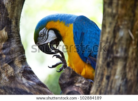 Blue-and-yellow Macao parrot sitting half-face between two branches, cleaning his feet, Iguazu, Brazil - stock photo