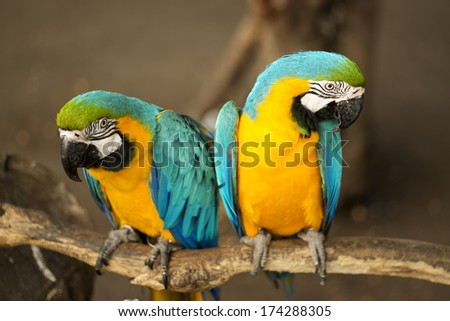 Blue-and-Yellow Macaw - stock photo