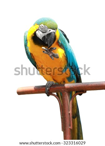 Blue-and-yellow macaw (Ara ararauna) on a stick, isolated on white background - stock photo