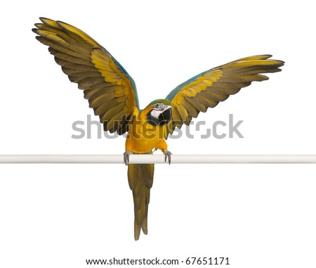Blue and Yellow Macaw, Ara Ararauna, perched and flapping wings in front of white background - stock photo