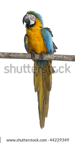 Blue-and-yellow Macaw, Ara ararauna, perched on branch in front of white background - stock photo