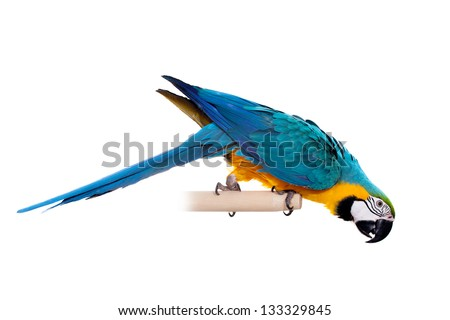 Blue and Yellow Macaw (Ara Ararauna) perched on pole on the white background
