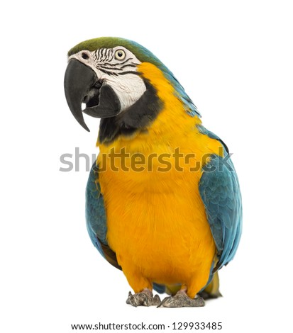Blue-and-yellow Macaw, Ara ararauna, 30 years old, in front of white background - stock photo