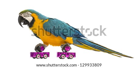 Blue-and-yellow Macaw, Ara ararauna, 30 years old, roller skating in front of white background - stock photo