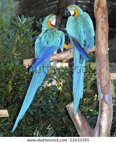 blue and yellow macaw bird couple  in love - stock photo