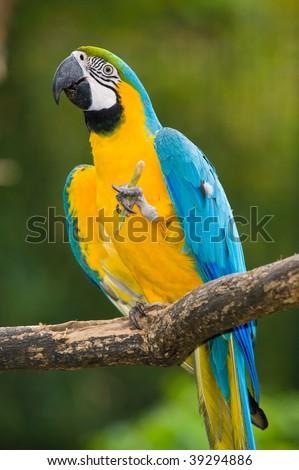 Blue-and-yellow Macaw in deep vegetation - Ara ararauna - stock photo