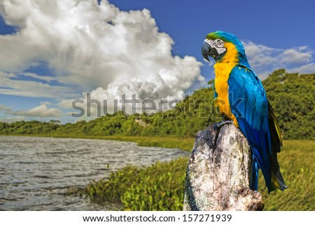 Blue and Yellow Macaw in Pantanal. Pantanal is one of the world's largest tropical wetland areas located in Brazil , South America - stock photo