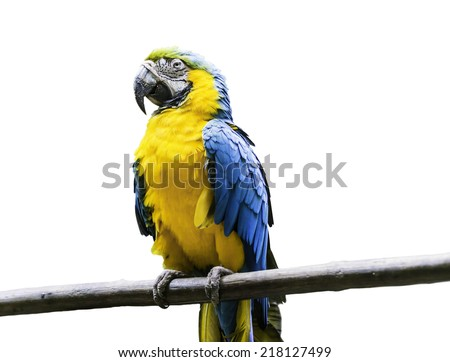 Blue and Yellow Macaw on white background