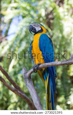 Blue and Yellow Macaw Parrot , Ara ararauna , also known as the Blue and Gold Macaw in Bali Bird Park, Indonesia - stock photo