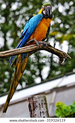 Blue and yellow Macaw Parrot, sitting on a branch, looking at the camera.