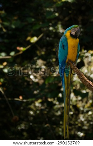 Blue and Yellow Macaw perching