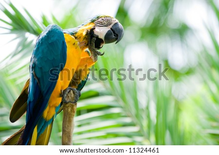 blue and yellow macaw scratching - stock photo