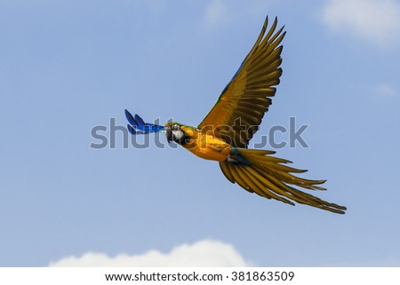 Blue and Yellow Macaw showing its wonderful colours. A magnificent blue and yellow macaw shows the wonderful colours of its plumage to good effect as it flies across a bright blue sky.