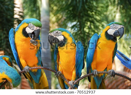 Blue And Yellow Macaws - stock photo