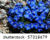 blue and yellow macro of alpine forget-me-not flowers from high mountain meadow in Wyoming - stock photo
