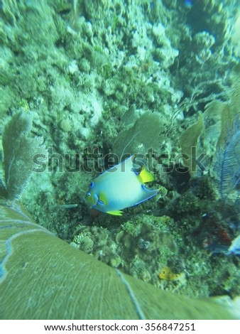 Blue and yellow queen angelfish by a coral head with a sea fan on top, Utila, Honduras