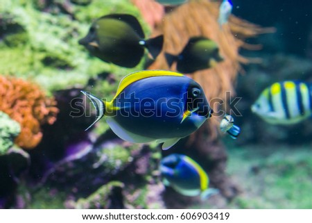 Blue and yellow surgeon fish in reef