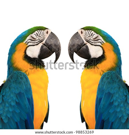 blue and yelow macaw love bird  background color white - stock photo