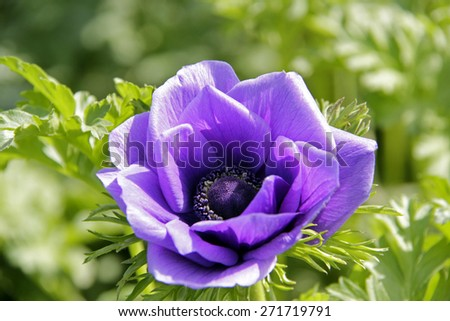 Blue anemone flower in the spring field - stock photo