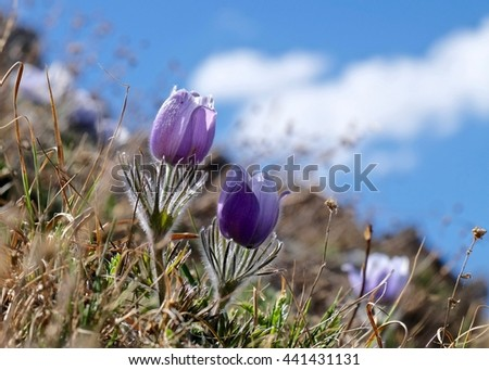 Blue anemone wildflowers in alpine meadows.  Pasque Flower or Pulsatilla found on Cottonwood Pass near Buena Vista and Denver  in Rocky Mountains, Colorado, USA.  - stock photo