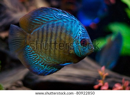 Blue aquarium fish - stock photo