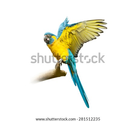 blue ara isolated on white with fly opened wings - stock photo