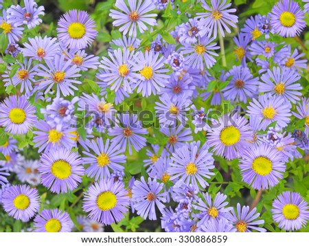 Blue aster flowers background - stock photo
