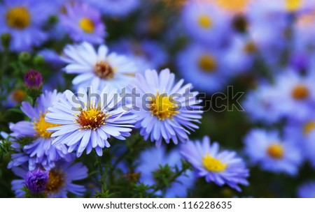 blue aster wildflowers in a field - stock photo