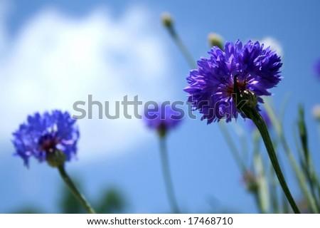 Blue Bachelor Buttons Flower - stock photo