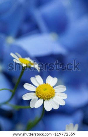 blue background with camomile - stock photo
