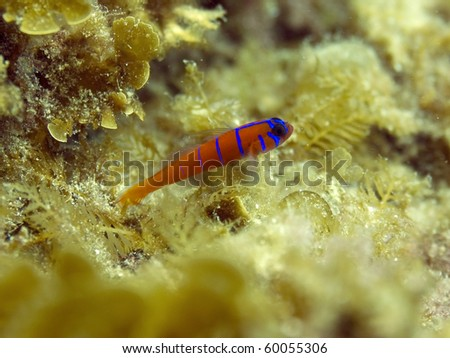 blue banded red goby, or catalina goby, casino point, catalina island, california - stock photo