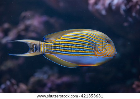 Blue banded surgeonfish (Acanthurus lineatus), also known as the zebra surgeonfish. Wild life animal.  - stock photo